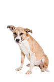 Mixed breed puppy on white Royalty Free Stock Images