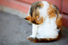 Mixed Breed Red and White Cat lick washes itself Royalty Free Stock Image