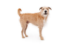 Mixed Breed Scruffy Dog Standing Stock Photography