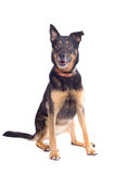 Mixed breed shepherd dog Royalty Free Stock Photo