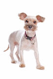 Mixed breed shi tzu Stock Photography