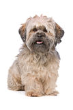 Mixed breed small fluffy dog Royalty Free Stock Photography