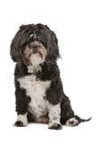 Mixed breed small fluffy dog Royalty Free Stock Photos