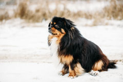 Mixed Breed Small Size Black And Brown Colors Dog Royalty Free Stock Photo