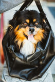 Mixed Breed Small Size Black And Brown Colors Dog Stock Photography