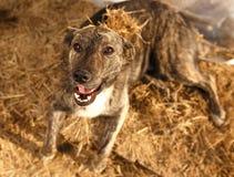 Mixed Breed Smiling Dog Lies on Manger Royalty Free Stock Image