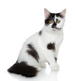 Mixed-breed spotted black and white cat. In studio Royalty Free Stock Photography