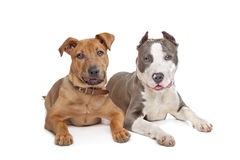 Mixed breed stafford and American Staff Royalty Free Stock Images