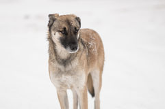 Mixed-breed, stray dog standing on a winter street Royalty Free Stock Photo