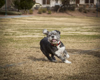 Mixed breed terrier playing Stock Photo