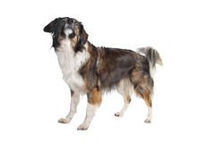 Mixed breed tri-colored dog Stock Photos