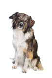 Mixed breed tri-colored dog Stock Images