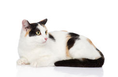 Mixed breed tricolor cat looking away.  on white Royalty Free Stock Photography