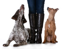 Mixed breed vs purebreed. Woman standing with mixed breed dog on one side and purebred dog on the other isolated on white background - german shorthaired pointer Royalty Free Stock Photos