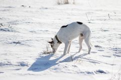 Mixed breed white dog with black spots standing on a fresh snow and sniffing around Stock Photos