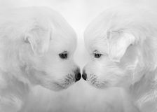 Mixed breed white puppies on light gray background. Royalty Free Stock Image
