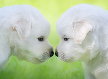 Mixed breed white puppies on light green background. Portrait of two puppies. Mixed breed white puppies on light green background Royalty Free Stock Photography