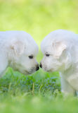 Mixed breed white puppies on light green background. Portrait of two puppies. Mixed breed white puppies on light green background Stock Images