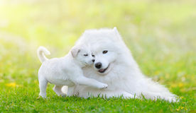 Mixed breed white puppy and samoyed dog on light green backgroun. Portrait of two dogs lying down. Mixed breed white puppy and samoyed dog on light green Royalty Free Stock Images