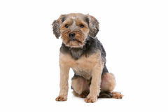 Mixed breed Yorkshire Terrier Royalty Free Stock Photos