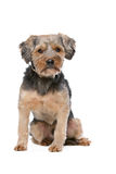 Mixed breed Yorkshire Terrier Royalty Free Stock Photography