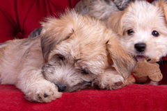 Mixed Breed Yorkshire Terrier Puppies. Two Yorkshire terrier and maltese mixed breed puppies playing on a red couch Royalty Free Stock Photos