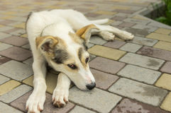 Mixed breed young dog resting on a sidewalk Royalty Free Stock Images