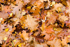 Mixed brown yellow leaves fallen from trees in Autumn seaso. Mixed brown yellow gold leaves fallen from trees in Autumn season as header background royalty free stock images