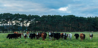 Mixed Cattle Stock Photos