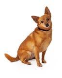 Mixed Chihuahua Breed Dog Sad Expression Royalty Free Stock Photo