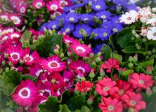 Cineraria flower Royalty Free Stock Images