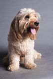 Mixed Cocker Spaniel Royalty Free Stock Image