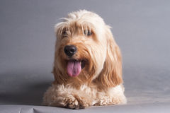 Mixed Cocker Spaniel Stock Images