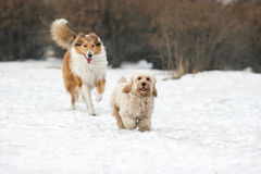 Mixed Cocker Spaniel and Rough Collie Stock Images