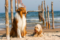 Mixed Cocker Spaniel and Rough Collie. Portrait in outdoors royalty free stock image