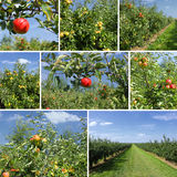 Mixed collage of details of apples Stock Image