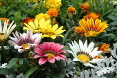 Mixed color gazania Stock Photos