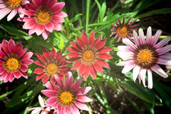 Mixed color gazania Stock Photography