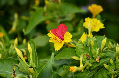 Mixed color Mirabilis flower Royalty Free Stock Photo