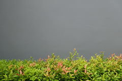 Mixed color shrub with gray wall Stock Images