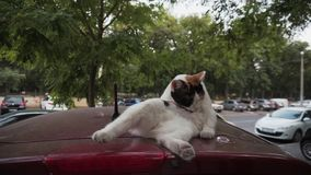 Mixed colored cat cleans itself by lifting its paw lying on the roof of the car, outdoors.