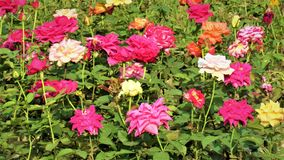 Mixed colored rose garden. Many colors flowers are same garden Royalty Free Stock Photography