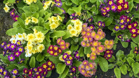 Mixed colorful pansy viola flowers in garden royalty free stock photography