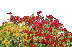 Mixed colors flowers of bougainvillea on shrubs Royalty Free Stock Photos