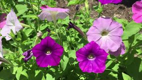 Mixed colors petunia video stock video footage