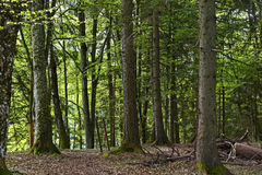 Mixed coniferous forest Stock Images