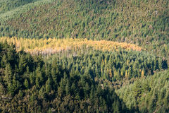 Mixed coniferous woods in autumn Royalty Free Stock Photography