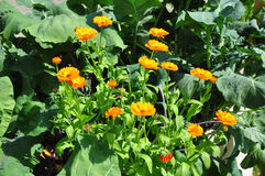 Mixed cultivation with Calendula Stock Image