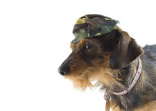 Mixed dachshund army hat Stock Photos