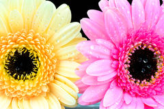 Mixed daisy flowers Stock Image
